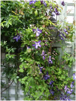 clematis in courtyard